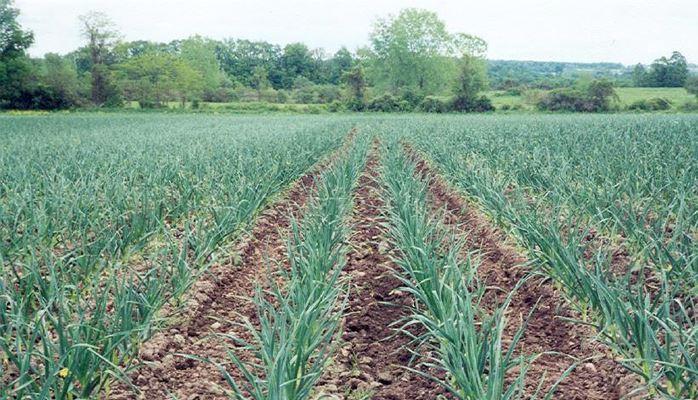 حقول زراعة الثوم