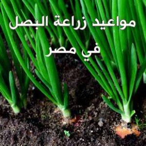 مواعيد زراعة البصل فى مص