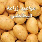 مواعيد زراعة البطاطس وشرح طريقة الزراعة
