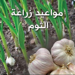 مواعيد وطريقة زراعة الثوم فى مصر بالتفصيل