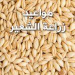 مواعيد زراعة الشعير فى مصر 2020