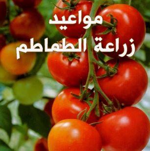 مواعيد زراعة الطماطم فى مصر ومراحل الزراعة