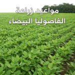 مواعيد وطرق زراعة الفاصوليا البيضاء الجافة والخضراء