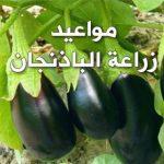 مواعيد زراعة الباذنجان فى مصر بالتفصيل