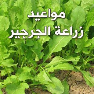 مواعيد زراعة الجرجير وخطوات زراعته