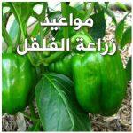 مواعيد زراعة الفلفل في مصر والمعاملات الزراعية