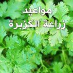 ميعاد زراعة الكزبرة في مصر